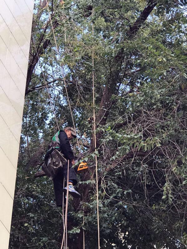 обрезка деревьев методом промышленного альпинизма